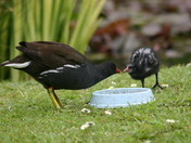 Moorhens feeding their young in the garden today