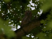 Evening shot of young Tawny Owl