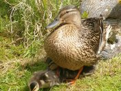 Mother duck keeping baby warm