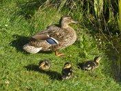 Mallard and babies