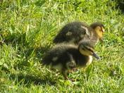 Baby ducks on garden pond