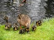 Baby ducklings on garden pond