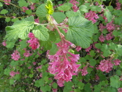 Flowering Currant Bush