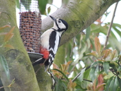 Greater Spotted Woodpecker going nutty at Bucklesham
