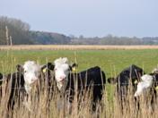Cattle Near Kirton Creek