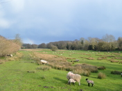 Sheep in Constable Country