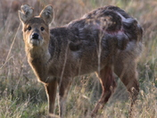 The approach of a battle scarred Chinese Water Deer at the Kessingland  levels.