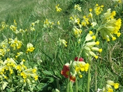 Cowslips on the riverbank at Woodbridge