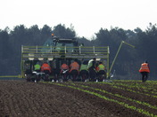 sowing  the new crop