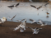 Frenzy of birds