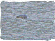 Seal on the River Deben.