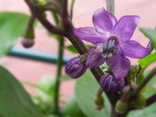 flowering Black pearl chilli plant