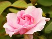 Suffolk garden rose