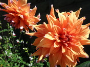 Dahlias in my mothers garden