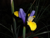 Iris in full bloom