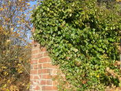Ivy on the old garden wall