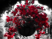 The red begonias on black & white