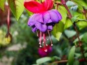 Summer Fuchsia