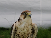 Warren Hill Raptor Project at Suffolk Dog Day, Helmingham Hall