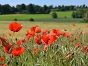 Poppys in bloom