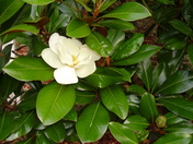 Sweet smelling Magnolia