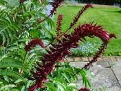 Melianthus Major - Honey bush