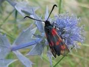 Six spot Burnet Moth on Sea Holly at Walberswick dunes