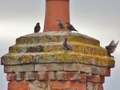 Starlings on the stack