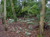 Snowdrops are just around the corner!