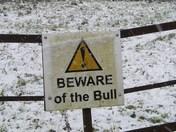 Snow Bull!