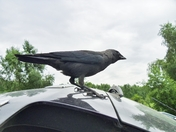 Pushy Jackdaw
