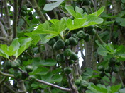Flourishing Figs