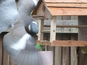 Pidgeon trying to feed