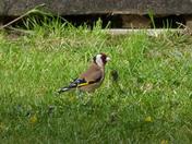 Goldfinch in my garden