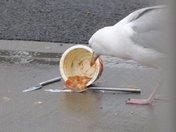 Harry Gull Feeding