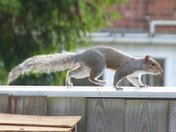 Grey Squirrel crossing the fence