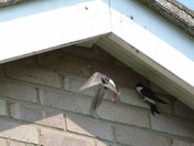 House Martins Fighting over my house