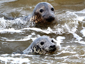 Seals at Horsea