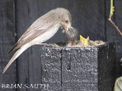 Spotted Flycatcher  Hatching  to about 5 days