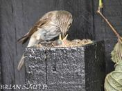 Spotted Flycatcher  hatching  to 5 days
