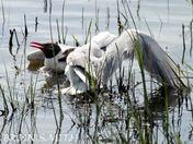 Fighting gulls minsmere