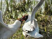 Fighting gulls,  Minsmere