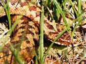 Female adder sizewell.