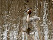 GREAT CRESTED GREBE  MINSMERE