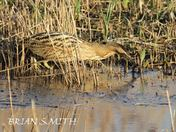 BITTERN AT MINSMERE.