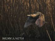 BITTERN  AT MINSMERE