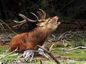 RED DEER STAG ROARING.