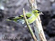 Siskin at Hollesley