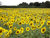 Sunflowers by Garry Catchpole