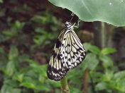 Butterfly Hanging Off Leaf